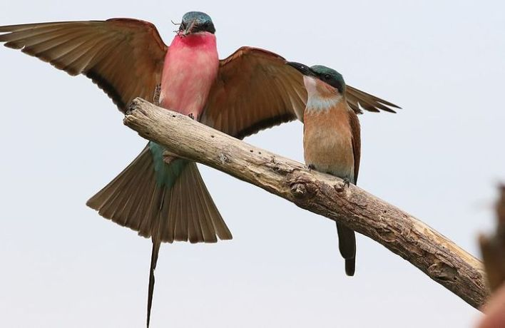 Two adorable Southern Carmine Bee-eater sitting freely in a tree branch