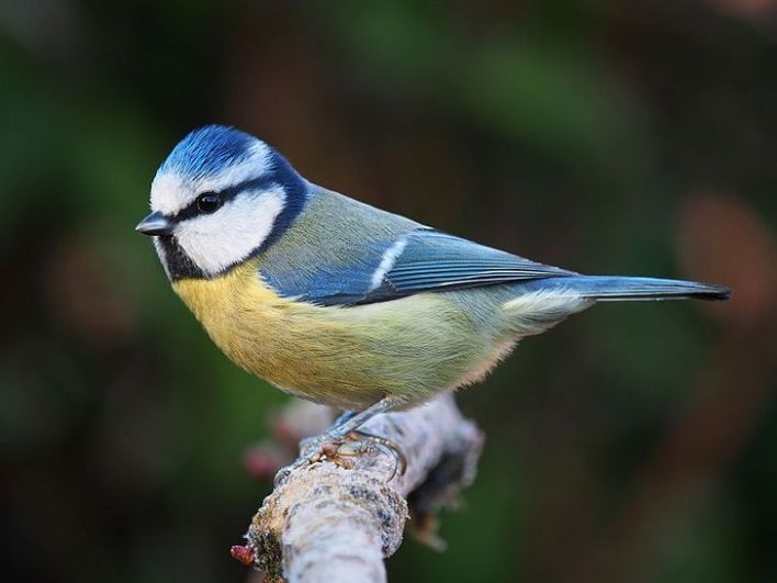 Eurasian Blue Tit standing on a branch