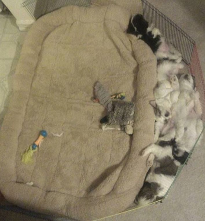 Black and white puppies sleeping outside of their light brown bed