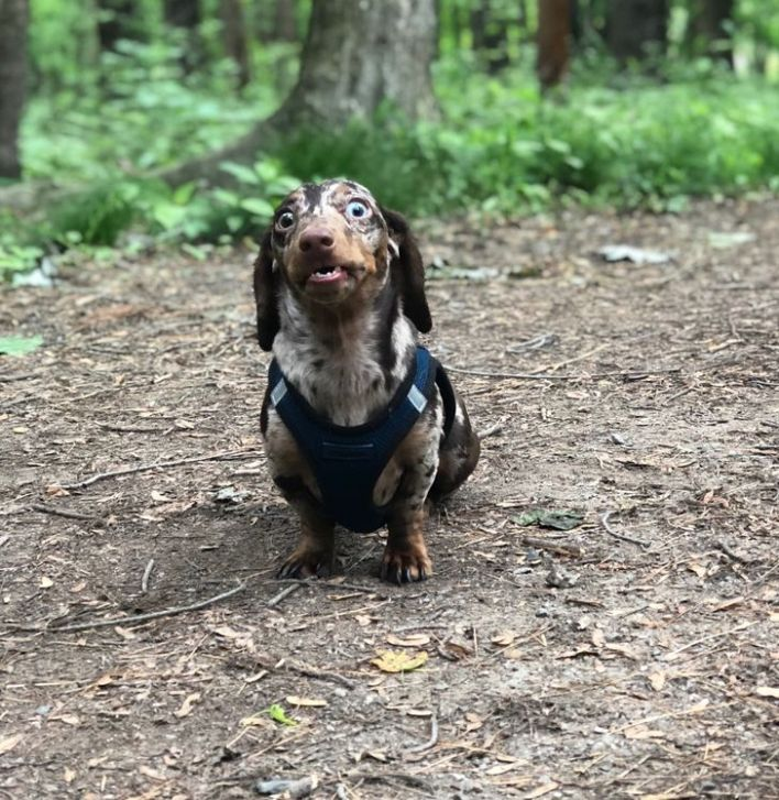 Dachshund posing weirdly in the forest