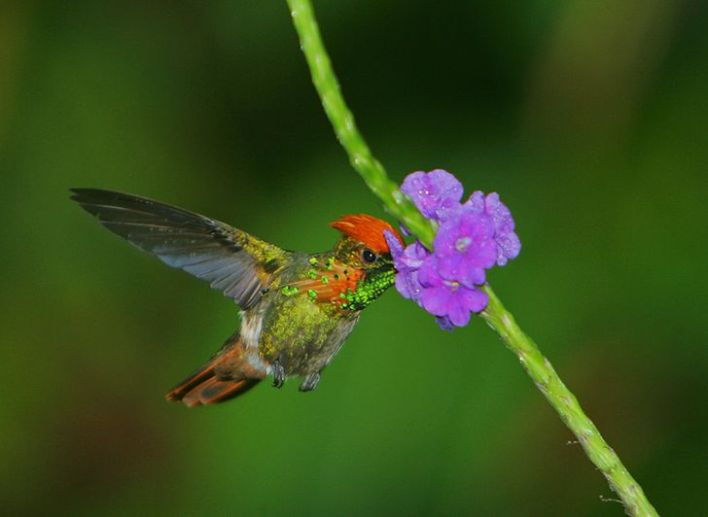 Exotic Tufted Coquette sipping nectar from a purple flower