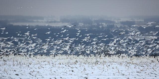 Padło kilka tysięcy gęsi śnieżnych które wylądowały w zbiorniku pełnym metali ciężkich