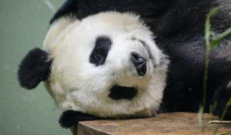 Dzień Pandy Wielkiej
