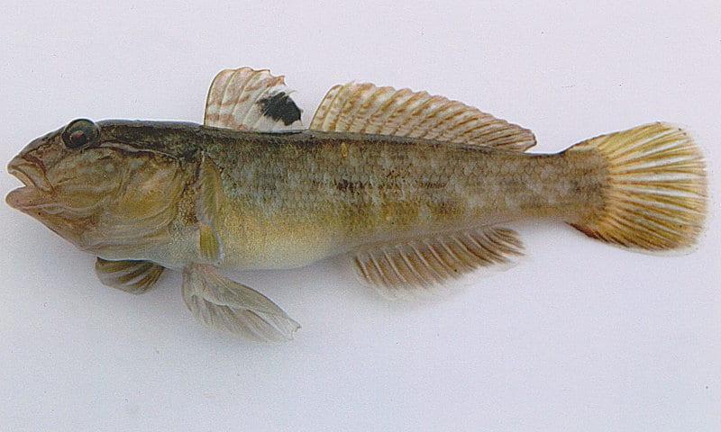 W Jeziorach Mazurskich pojawiła się babka bycza. Ryba uznana za gatunek inwazyjny.