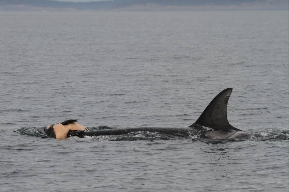Skończył się koszmar orki niosącej swoje martwe dziecko przez 17 dni i 1000 mil