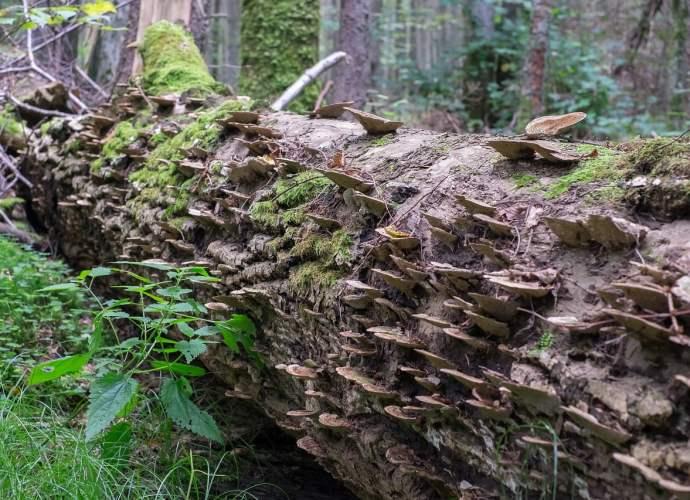 W lesie który po katastrofie naturalnej odnawia się samoczynnie, bioróżnorodność jest większa, niż w lesie odnawianym sztucznie