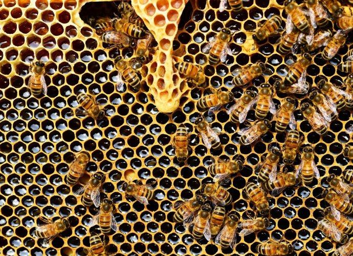 Preparat złożony z substancji naturalnych pomoże zwalczać nosemozę. Chorobę, na którą coraz częściej zapadają pszczoły