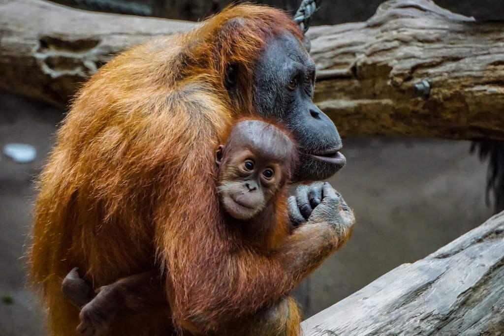 Nie jem palmowego – chronię orangutany. Akcja Uniwersytetu Przyrodniczego w Poznaniu