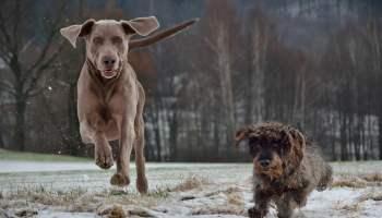 Zdziczałe psy polują w watahach, zabijają dzikie zwierzęta i zajmują ich siedliska