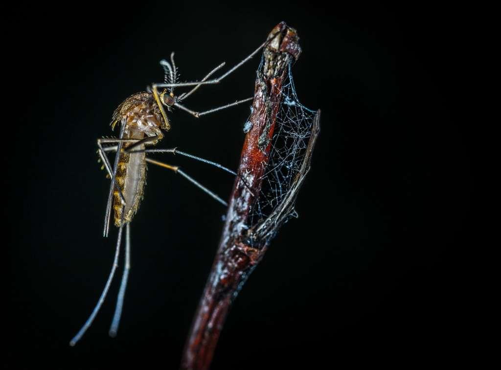 Uciążliwe dla ludzi komary pełnią w przyrodzie określone, ważne funkcje
