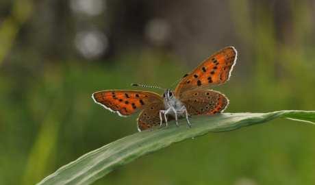 W Polsce zagrożona jest prawie połowa gatunków motyli dziennych