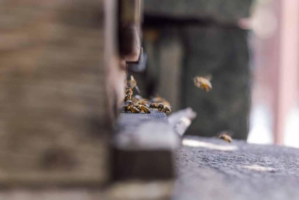 Według badań miód z miejskich pasiek jest niemal wolny od zanieczyszczeń metalami ciężkimi