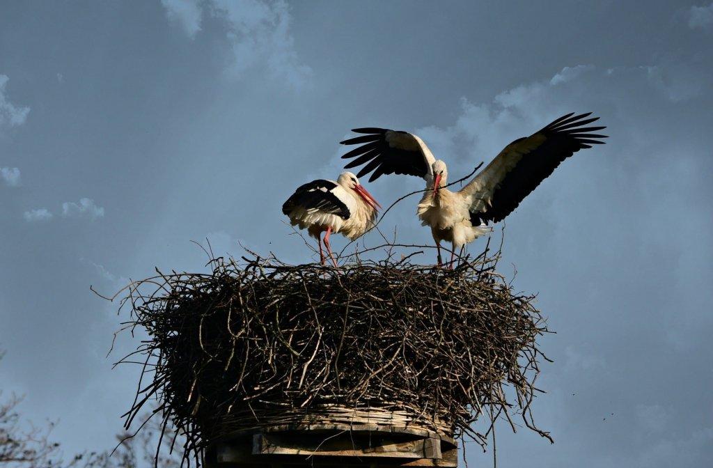 W gniazdach bocianów dochodzi do powstawania gleby ornitogenicznej