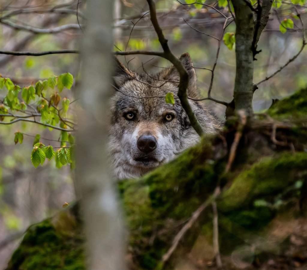 Naukowcy z PAN wydali stanowisko w sprawie ochrony wilków