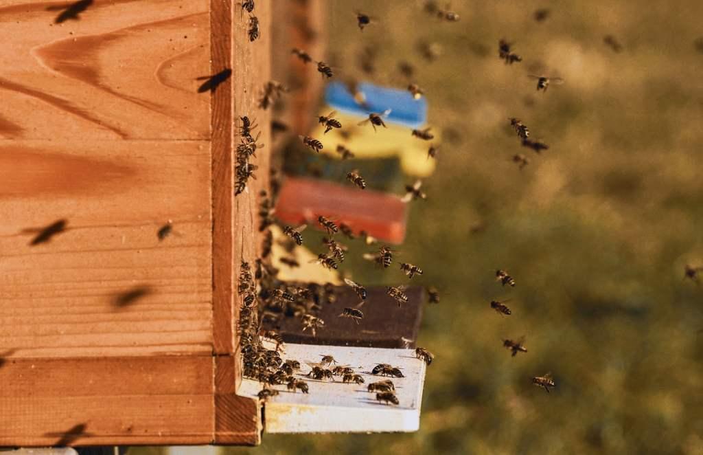 Popularne w ostatnich latach miejskie pasieki mogą szkodzić rodzimym gatunkom pszczół