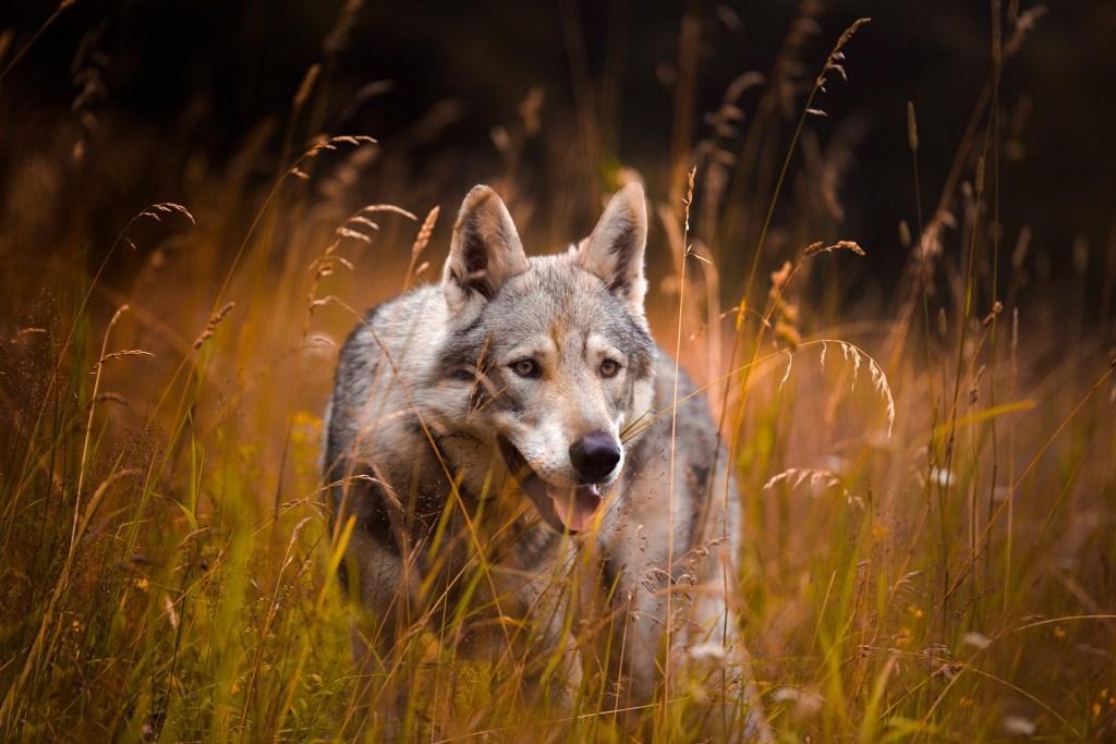Wilki mogą być pomocne w walce z ASF