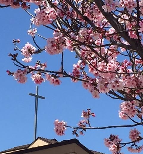 Church front with Cherry Blossoms