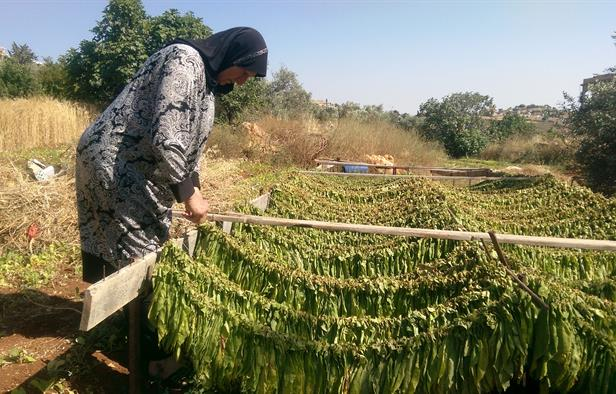 Hajji Naaimeh hanging tobacco leaves out to dry in Houla (NOW/Myra Abdallah)