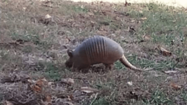 armadillos in the gsmnp