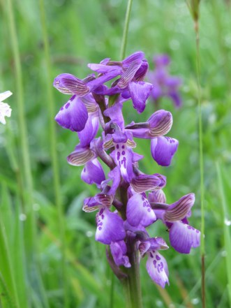 Green Winged Orchid
