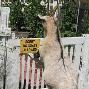 No Goats Allowed