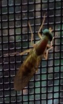 Yellow soldier fly adult on window screen