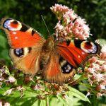 """""""Dem Saarland blüht was"""" – Blühende Flächen sollen Ortszentren aufwerten und biologische Vielfalt erhalten"""