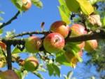 1000 Kilogramm Äpfel in Oberthal gestohlen