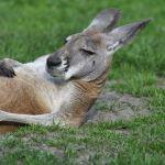 Freisen: Känguru auf Fahrbahn unterwegs