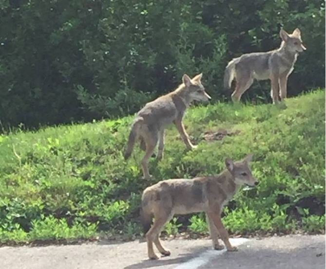 Photo of coyote pack in Michigan goes viral  WNEM TV 5