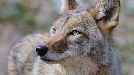 Coyote cornering