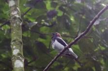 Beareded bell bird at Asa Wright
