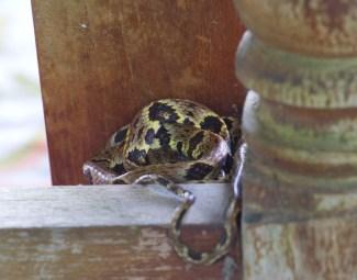 dipsas variegata trinitatis snail eating snake