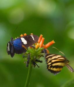 battle butterflies in the garden