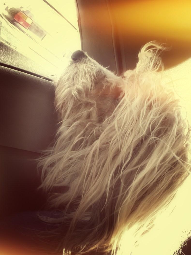 Rasty Enjoying Car Ride