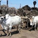 Belgisches Unternehmen bestellte 500 Tonnen organischen Zucker aus dem Chaco