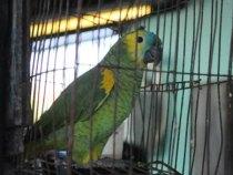 Papagei verriet der Polizei dass der Gesuchte geflohen ist