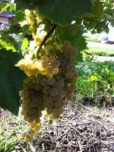 Vidal grapes in Inniskillin