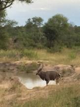 Kudu - My Dinner in the Nature
