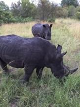 The Big Five - Rhinoceros