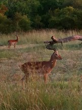 Impala - My Dinner in the Nature