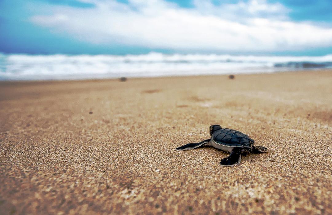 Participa en la liberación de tortugas en el Belmond Maroma Resort & Spa