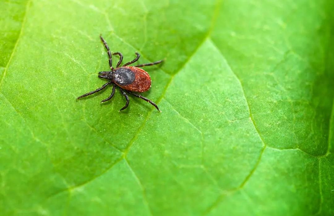 Encuentran tratamiento potencial para la Enfermedad de Lyme
