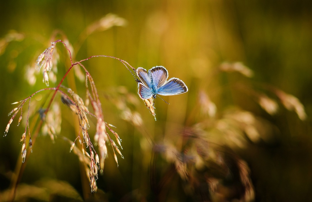 La mariposa azul reaparece después de 50 años