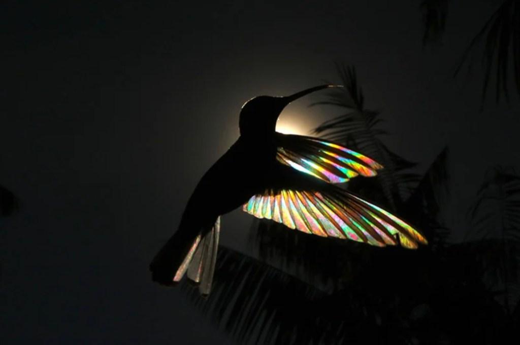 Fotógrafo captura «efecto arcoíris» en las alas de los colibríes