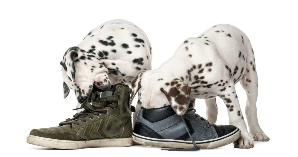¿Tu perro roba y rompe tu ropa? Esta es la razón de su comportamiento