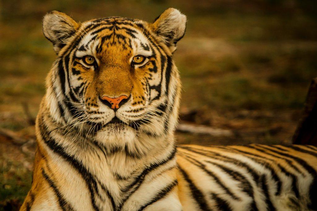 5 cosas que no sabías de los tigres de Bengala