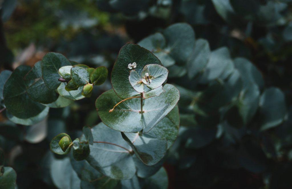 Descubre todo lo que el aceite de eucalipto puede hacer por tu salud