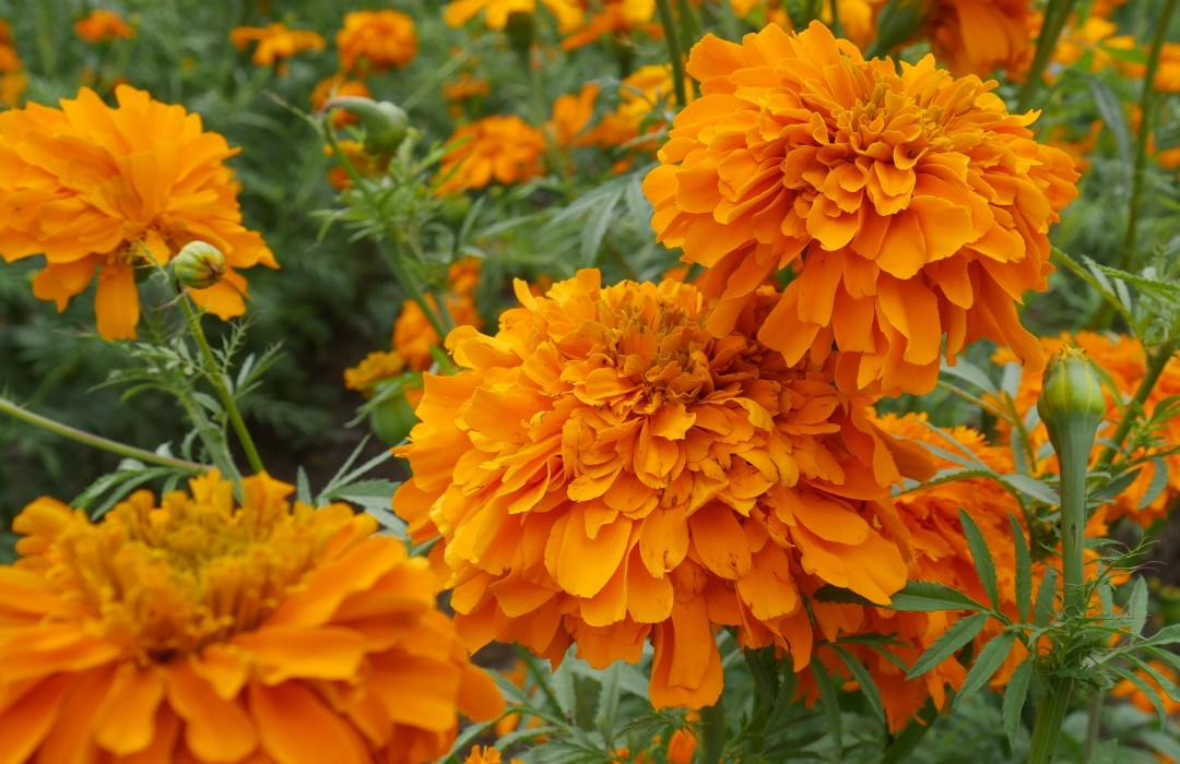 Té de flor de cempasúchil: cómo prepararlo y qué beneficios aporta