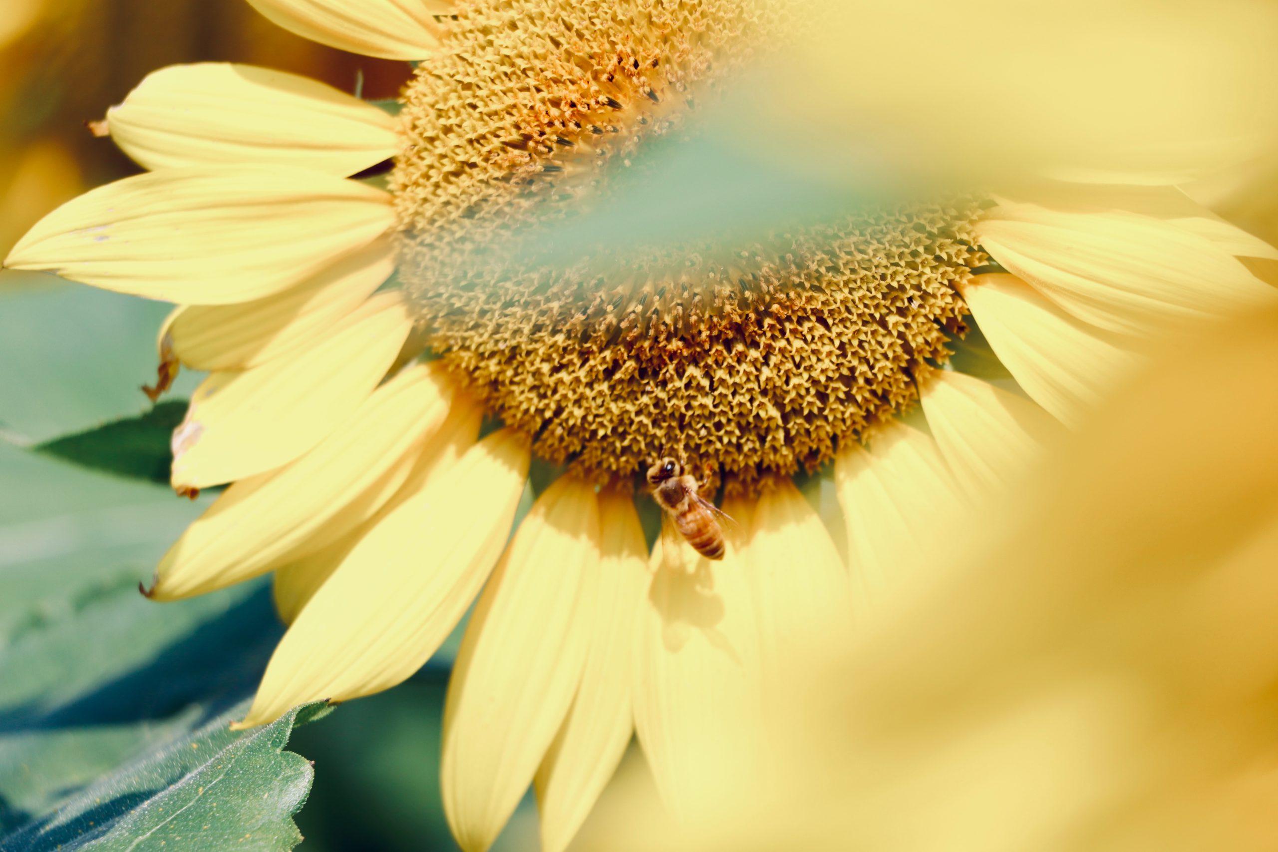 Increíble, pero cierto: a las abejas les encanta la aromaterapia